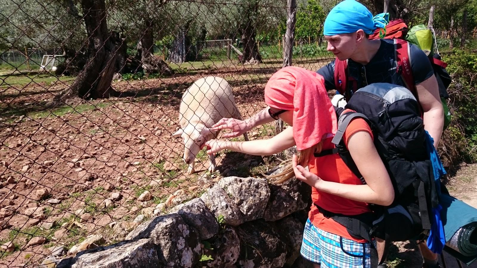 Ochočené ovečka cestou do Sólleru