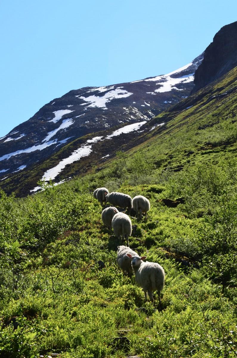 Ovce byly všude