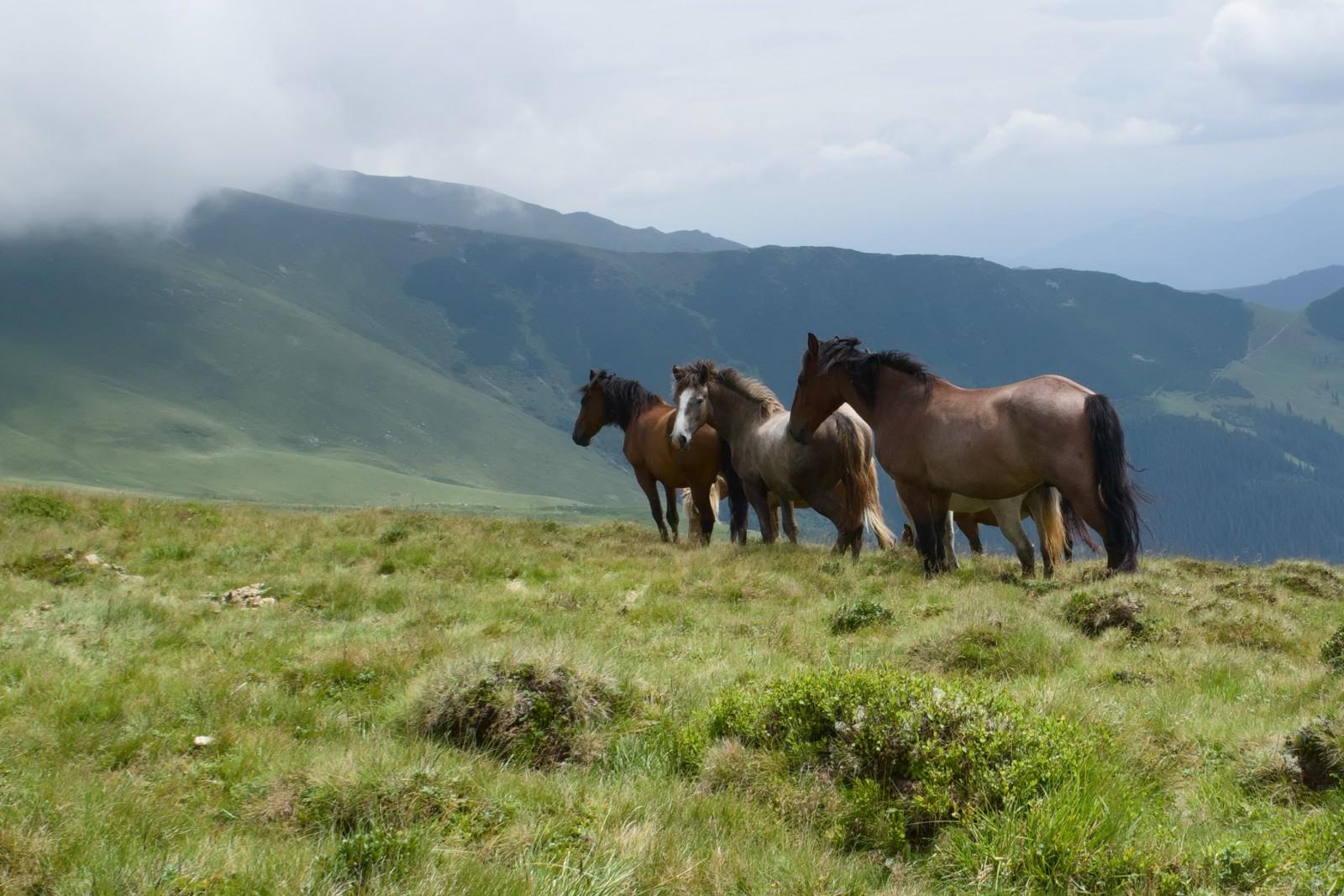 Polodivocí koni